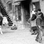 Svod krav v JZD Bechlín (okres Litoměřice) (Foto zdroj: Národní zemědělské muzeum)