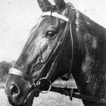 Dobová pohlednice s portrétem koně majícího na sobě postroj